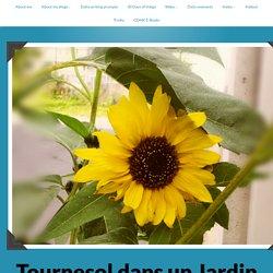 blossoming courtyard (troiku) – Tournesol dans un Jardin