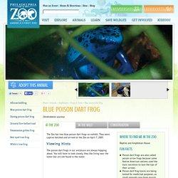 Blue poison dart frog - Philadelphia Zoo