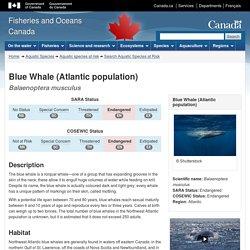Blue Whale (Atlantic population)