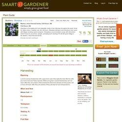 Blueberry: Sharpblue Harvesting - Plant Guide
