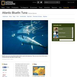 Bluefin Tuna, Bluefin Tuna Pictures, Bluefin Tuna Facts