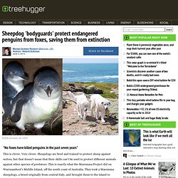 Sheepdogs protect endangered penguins