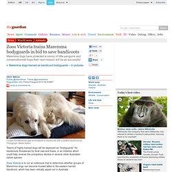 Zoos Victoria trains Maremma bodyguards in bid to save bandicoots