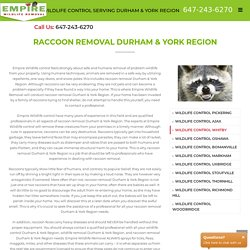 Raccoon Removal - Empire wildlife control Toronto, ajax, Whitby, Oshawa, newmarket, barrie, bomanviille, Markham, Stouffville, uxbridge, Scarborough, Durham region