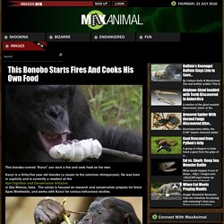 This Bonobo Starts Fires And Cooks His Own Food