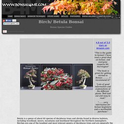 Species Guide Birch Betula Bonsai