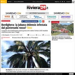 Bordighera: la Jubaea chilensis infestata dal punteruolo rosso? - Riviera24