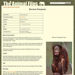 Bornean Orangutan: The Animal Files