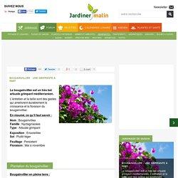 Bougainvillier : entretien du printemps à l'hiver