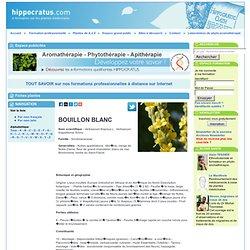 BOUILLON BLANC, Verbascum thapsus L.. Verbascum thapsiforme Schra