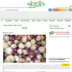 Navet, Brassica napus : conseils de culture