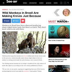 Wild Brazilian Monkeys Are Making Knives Just Because