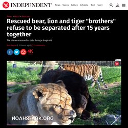 "Rescued bear, lion and tiger ""brothers"" refuse to be separated after 15 years together"