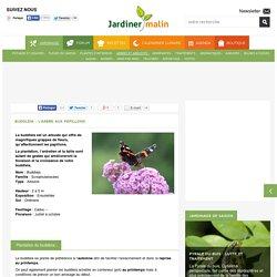 Buddleia : plantation, taille et entretien