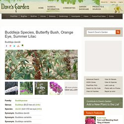 Buddleja Species, Butterfly Bush, Orange Eye, Summer Lilac Buddleja davidii