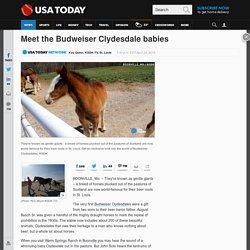 Meet the Budweiser Clydesdale babies
