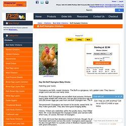 Buff Orpington Chicks for Sale