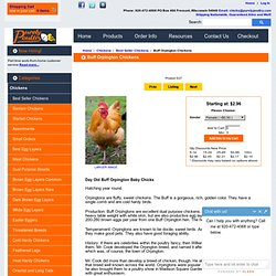 Buff Orpington Chicks for Sale