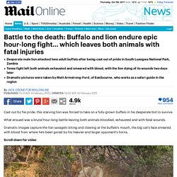 Buffalo and lion endure epic hour-long fight to the death