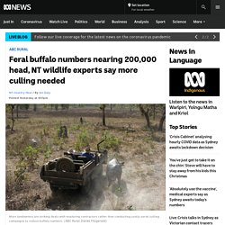 Feral buffalo numbers nearing 200,000 head, NT wildlife experts say more culling needed