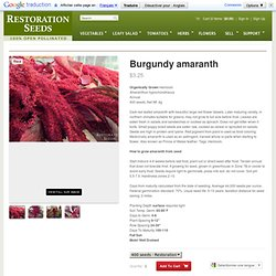 Burgundy amaranth