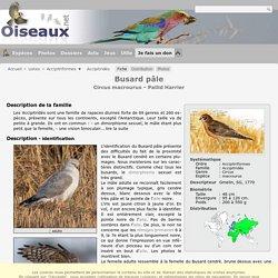 Busard pâle - Circus macrourus