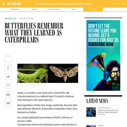 Butterflies Remember What They Learned as Caterpillars