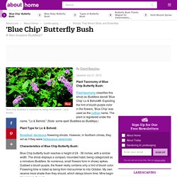 Blue Chip Butterfly Bush - Non-Invasive Buddleia?