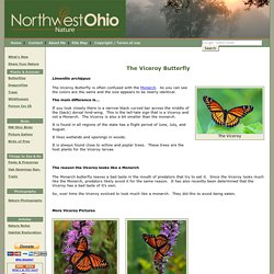 Viceroy Butterfly - Pictures and description