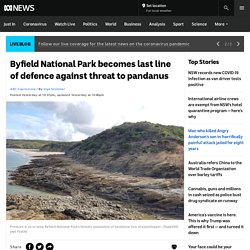 Byfield National Park becomes last line of defence against threat to pandanus - ABC News