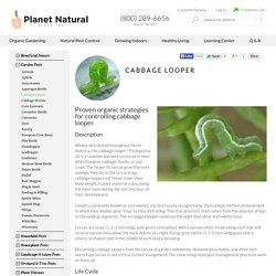 Cabbage Looper Control