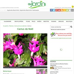 Cactus de Noël, Schlumbergera truncata
