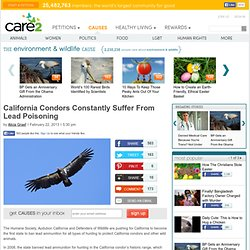 California Condors Constantly Suffer From Lead Poisoning