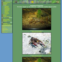 "Ecrevisse ""signal"" ou ""de Californie""(Californian crayfish, Signal crayfish)-Pacifastacusleniusculus[Crustacés]"