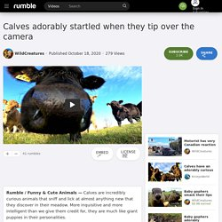 Calves adorably startled when they tip over the camera
