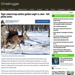 Tiger camera trap catches golden eagle vs. deer