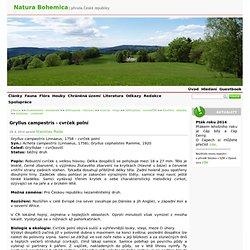 Gryllus campestris - cvrček polní