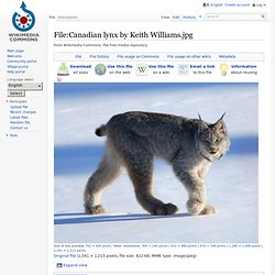 Canadian lynx by Keith Williams.jpg - Wikipedia, the free encyclopedia