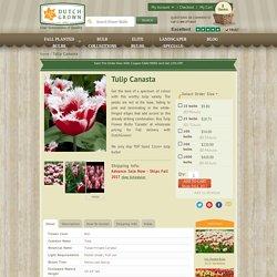 Tulip Canasta - Flower Bulbs