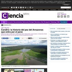 Candirú: la historia del pez del Amazonas que entra por el pene