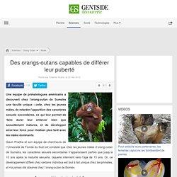 Des orangs-outans capables de différer leur puberté