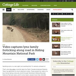 Video captures lynx family frolicking along road in Riding Mountain National Park