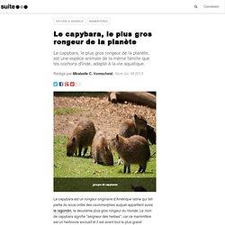 Le capybara, le plus gros rongeur de la planète