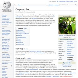 Carpenter bee - Wikipedia