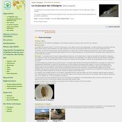 FREDON CORSE:Carpocapse des châtaignes Cydia triangulela