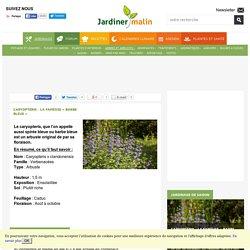 Caryopterys : plantation, taille et conseils d'entretien