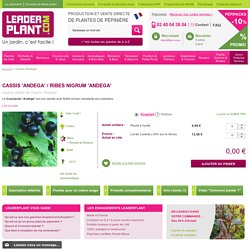 Cassis 'Andega' - Vente Jeunes plants de Cassis 'Andega' pas cher