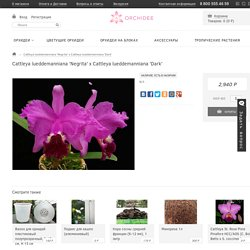 Cattleya lueddemanniana 'Negrita' x Cattleya lueddemanniana 'Dark'