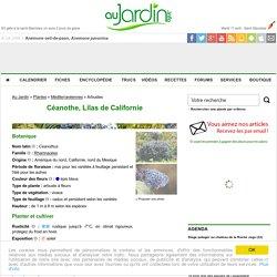 Ceanothe, Lilas de Californie