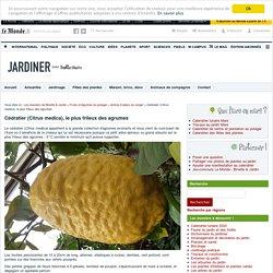 Cédratier (Citrus medica), le plus frileux des agrumes